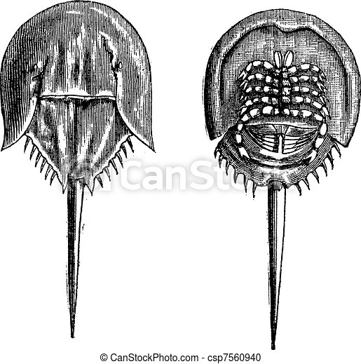 Horseshoe crabs in the Moluccas. - 1, lower surface 2. upper surface, vintage engraving. - csp7560940