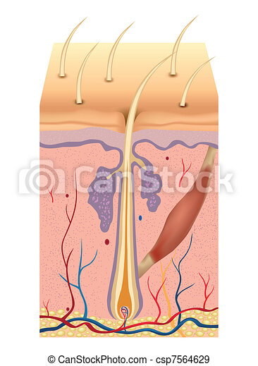 Human hair structure anatomy illustration. Vector - csp7564629