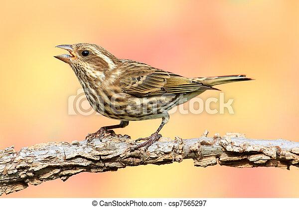 Purple Finch (Carpodacus purpureus) - csp7565297