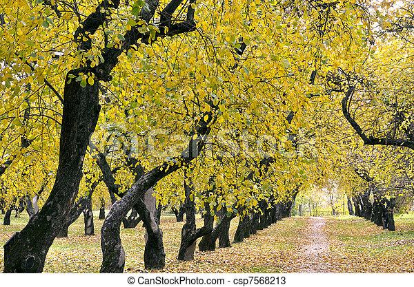 autumn apple orchard - csp7568213