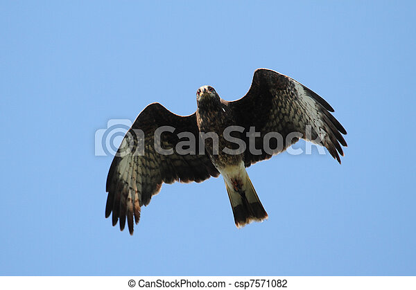 Endangered Female Snail Kite - csp7571082
