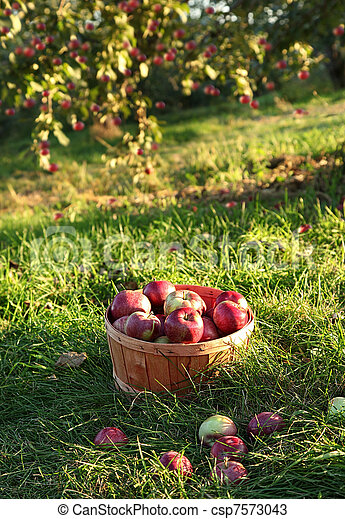 Freshly picked apples in the orchard - csp7573043