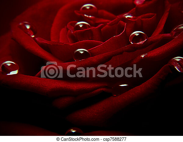 Water drops on a red rose - csp7588277