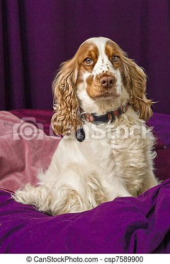 Pampered Cocker Spaniel Dog - csp7589900
