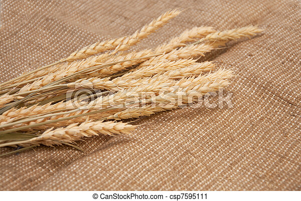 wheat on a burlap background. - csp7595111