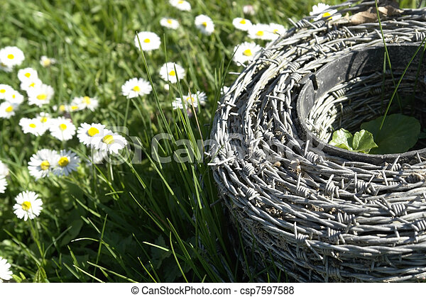 barbwire and daisy flowers on a meadow - csp7597588