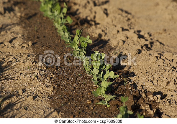 Young beans shots in a garden - csp7609888