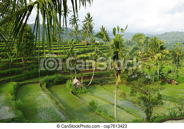 Watered ricefield with palm in Bali - csp7613423