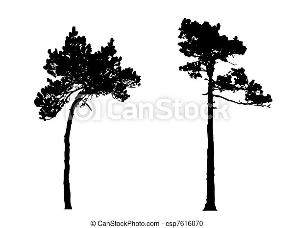 silhouette of the  pine in wood - csp7616070