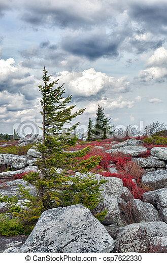 Windswept pine tree in rocky landscape