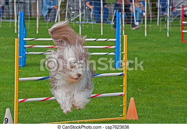 Bearded Collie Dog Jumping At Agility Show