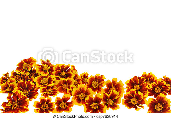 Stock Photo of Marigold flower heads over white background ...
