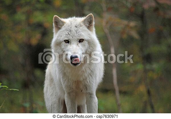 Wild wolf in the woods - csp7630971