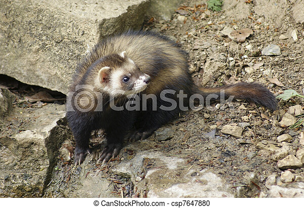 Ferret in stony back - csp7647880