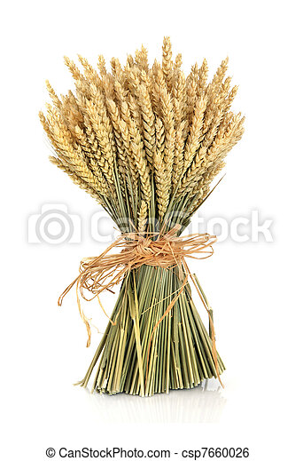 Wheat - csp7660026