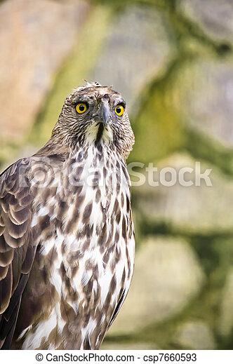 Changeable hawk eagle - csp7660593