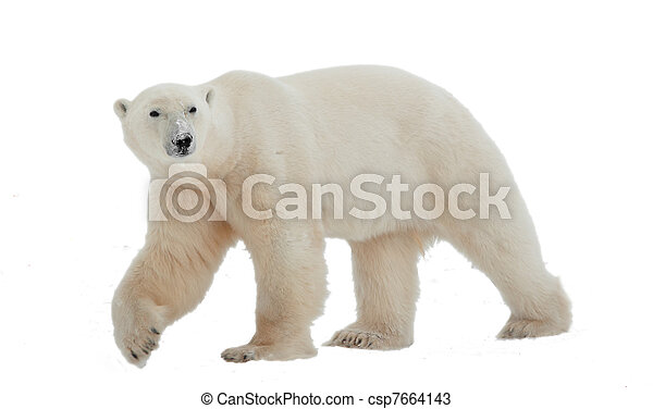 Polar bear - csp7664143
