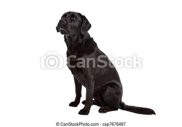 cross breed dog of a Labrador and a Flat-Coated Retriever - csp7676497