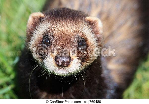 Close-up shot of an European Polecat (mustela putorius) - csp7694801