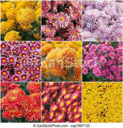 Collection of different species of chrysanthemums  - csp7697133