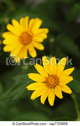 Arnica flowers - csp7703959