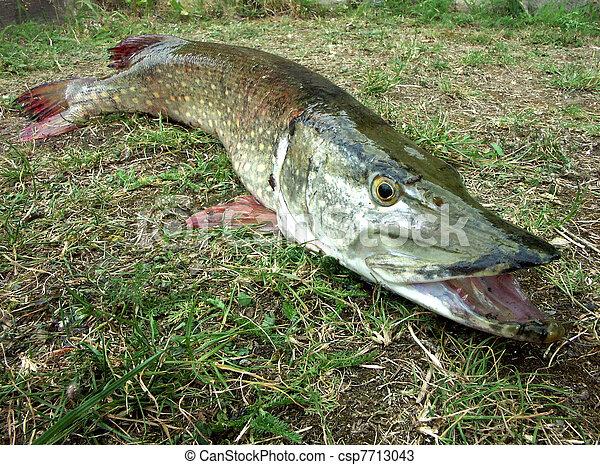 Stock photos of pike freshwater predatory fish for Predatory freshwater fish