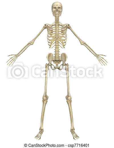 Human Skeleton Anatomy Front View - csp7716401