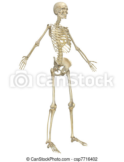 Human Skeleton Anatomy Angled Front View - csp7716402