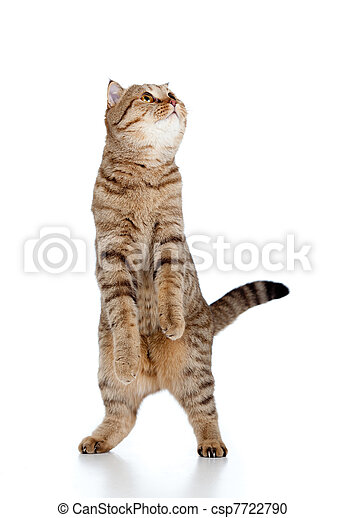 Scottish tabby-cat stands while playing, isolated on white - csp7722790