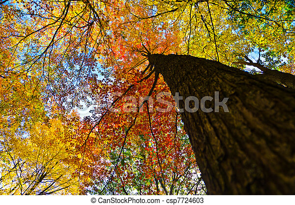 Looking up at maple tree in fall - csp7724603
