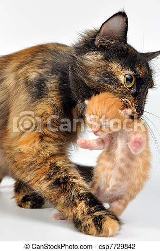 mother cat carrying newborn kitten - csp7729842