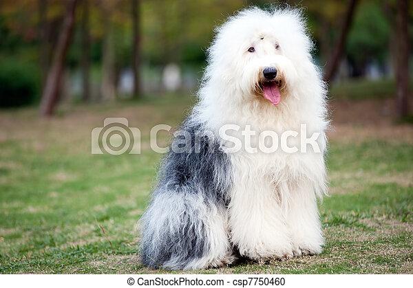 Old English sheepdog - csp7750460