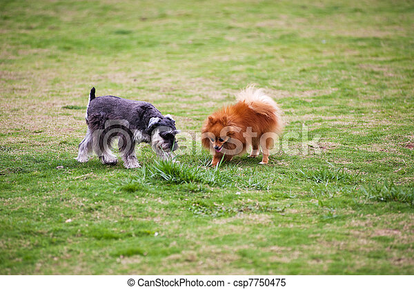 Miniature Schnauzer and Pomeranian dogs - csp7750475