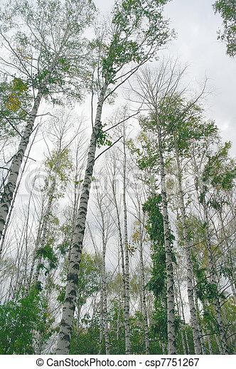 Birches on the overcast sky - csp7751267