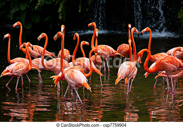 American Flamingo (Phoenicopterus ruber), Orange flamingo - csp7759904