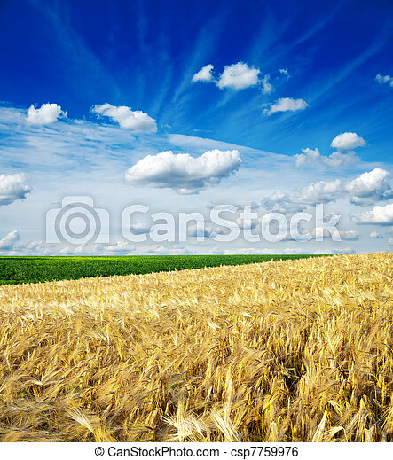 field of wheat under cloudy sky - csp7759976