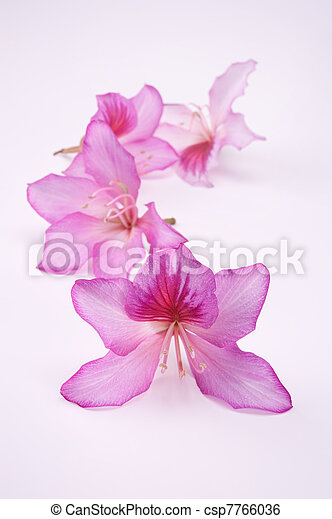 beautiful pink flowers - csp7766036