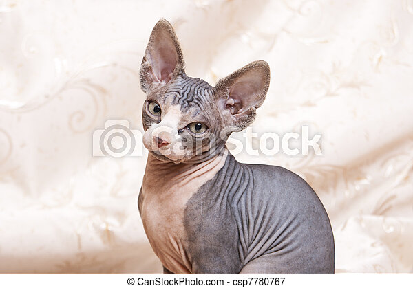 Sphynx kittens on Beige background - csp7780767