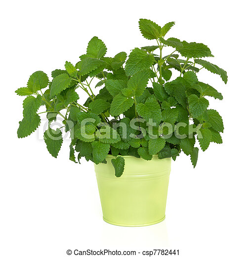 Lemon Balm Herb - csp7782441