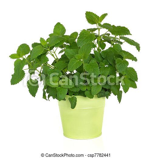 Lemon Balm Herb   - csp7782441