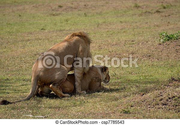 Stock de fotos de leones apareamiento en el arbusto csp7785543 buscar stock de im genes - Leones apareamiento ...