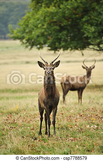Frontal portrait of adult red deer stag in Autumn Fall - csp7788579