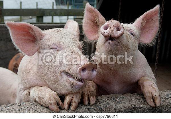 Lauging pigs - csp7796811
