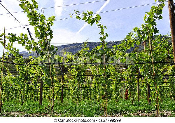 Chardonnay grapes - csp7799299
