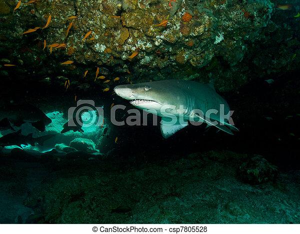 Ragged Tooth Shark - csp7805528