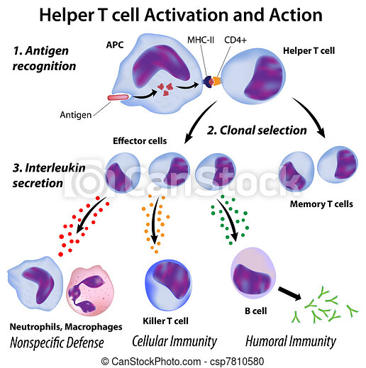 Function of T helper cells, eps8 - csp7810580