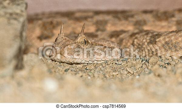 Desert horned viper portrait - csp7814569