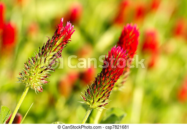photographies de luzerne beau rouges luzerne fleur champ csp7821681 recherchez des. Black Bedroom Furniture Sets. Home Design Ideas