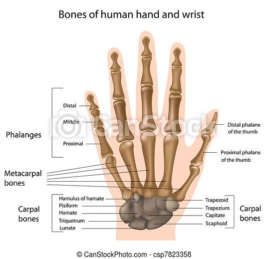 Bones of the hand, eps8 - csp7823358