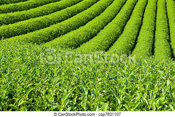 Tea plantation - csp7831107